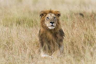 Lion (Panthera leo), male with wet mane lying in grass, Masai Mara, Narok County, Kenya, Africa