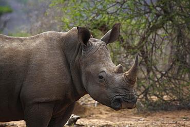 White Rhinoceros (Ceratotherium simum), portrait, Hluhluwe-Imfolozi National Park, Province of KwaZulu-Natal, South Africa, Africa