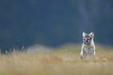 Arctic fox (Vulpes lagopus), puppy with tongue out, Dovrefjell, Norway, Europe