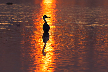 Grey Heron (Ardea cinerea) in the morning light, Lower Saxony, Germany, Europe