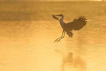Grey Heron (Ardea cinerea), landing, in the morning light, Lower Saxony, Germany, Europe