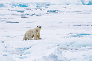 Polar Bear (Ursus maritimus) on pack-ice, Spitsbergen, Norway, Europe