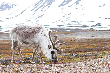 Svalbard reindeer (Rangifer tarandus platyrhynchus), foraging, Spitsbergen, Norway, Europe