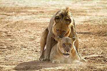 Lions (Panthera leo) during mating, Erindi Reserve, Namibia, Africa