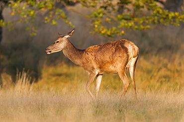 Red Deer (Cervus elaphus), hind, Klampenborg, Copenhagen, Denmark, Europe