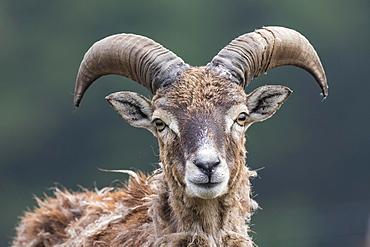 European mouflon (Ovis orientalis musimon), captive, Saarland, Germany, Europe