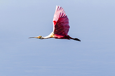 Roseate Spoonbill (Ajaia ajaja) in flight, Ding Darling National Wildlife Refuge, Sanibel Island, Florida, USA, North America