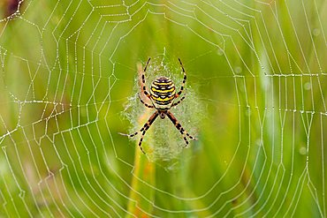 Wasp spider (Argiope bruennichi) in its web with dewdrops