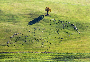 Flock of sheep on pasture with beech tree, Shadow, Aerial View, Swabian Jura, Ennabeuren, Heroldstatt, Baden-Wuerttemberg, Germany, Europe