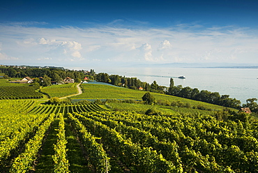 Vineyards between Hagnau and Meersburg, Meersburg, Lake Constance, Baden-Württemberg, Germany, Europe