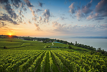 Vineyards between Hagnau and Meersburg, sunrise, cloudy sky, Lake Constance, Baden-Württemberg, Germany, Europe