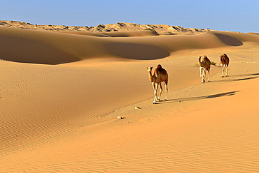 Dromedaries (Camelus dromedarius) walking in the sanddunes of Al Khaluf desert, Sharqiyah, Oman, Arabia, Asia