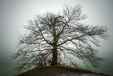 Bare tree in winter fog on the slope of the chalk cliff coast, Rugen, Germany, Europe
