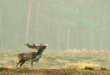 Fallow deer (Dama dama) buck during the rut, Hesse, Germany, Europe