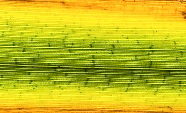 Colorful reed leaf, leaf veins