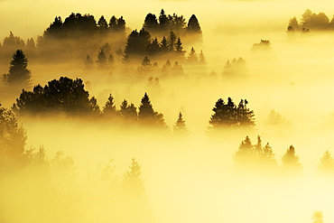 Forest covered in fog, Rothenthurm, Canton of Schwyz, Switzerland, Europe