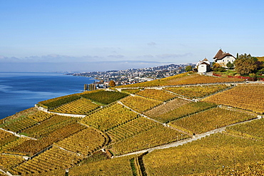 Vineyards in autumn with view of Castle Montagny, Lausanne, Lavaux, Lake Geneva, Canton of Vaud, Switzerland, Europe