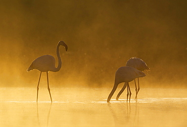 Greater Flamingo (Phoenicopterus roseus), male approaches a feeding pair, at a cold and misty morning at the Laguna de Fuente de Piedra, Malaga province, Andalusia, Spain, Europe