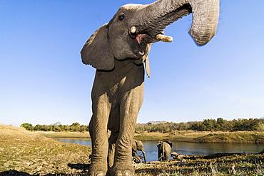 African Bush Elephant (Loxodonta africana), Mpumalanga Province, South Africa, Africa