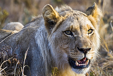 Lion (Panthera leo), lioness, female, Kruger National Park, South Africa, Africa