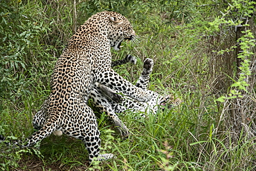 Leopards (Panthera pardus), adult male and female, fighting after mating, South Africa, Africa