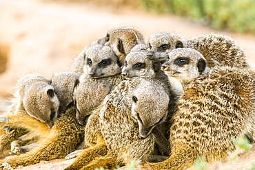 Meerkats (Suricata suricatta), colony in the Karoo, semi-desert, Little Karoo, Western Cape, South Africa, Africa