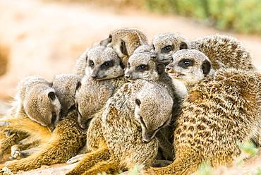 Meerkats (Suricata suricatta), colony in the Karoo, semi-desert, Little Karoo, Western Cape, South Africa, Africa