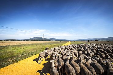 Sheep flock during transhumance through the region of Soria, Castilla y León, Spain, Europe
