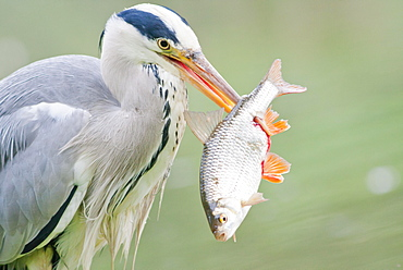 Grey Heron (Ardea cinerea) with prey, fish, North Hesse, Hesse, Germany, Europe