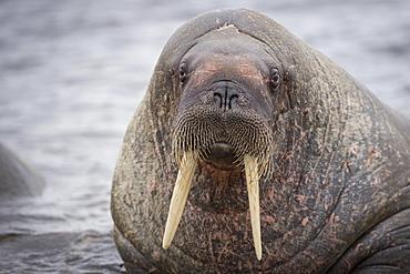 Walrus (Odobenus rosmarus), Phippsøya, Sjuøyane, Svalbard Archipelago, Svalbard and Jan Mayen, Norway, Europe