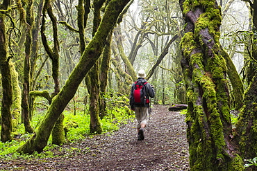 Hiker walking through a laurel forest, Garajonay National Park, La Gomera, Canary Islands, Spain, Europe
