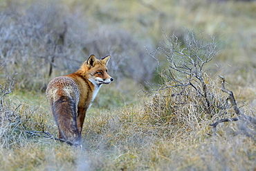 Red fox (Vulpes vulpes) stands attentively between bushes, Waterleidingduinen, North Holland, Netherlands