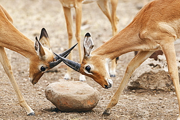 Two Impalas (Aepyceros melampus), fighting, Botswana, Africa