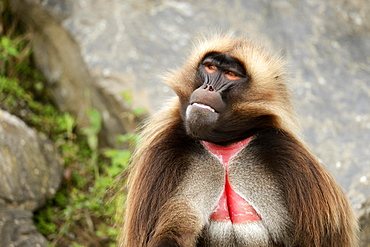 Gelada (Theropithecus gelada), male, captive, Switzerland, Europe