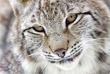Portrait of a Eurasian Lynx (Lynx lynx), Hesse, Germany, Europe