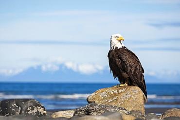 Bald Eagle (Haliaeetus leucocephalus) on the beach of Anchor Point, Kenai Peninsula, Alaska, United States, North America