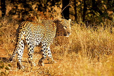 Leopard (Panthera pardus) in dry grass, Kruger National Park, South Africa, Africa