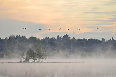Cranes (Grus grus) flying over wetlands in the morning, Tiste Bauernmoor, Burgsittensen, Lower Saxony, Germany, Europe