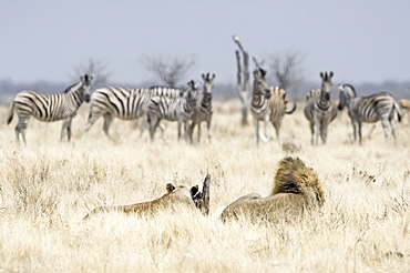 African Lions ( Panthera leo), adult male and female, looking at a herd of Burchell's Zebras (Equus quagga burchellii), Etosha National Park, Namibia, Africa