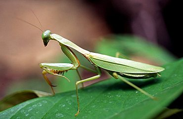 Green leaf mantis no.1