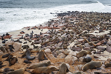 Brown Fur Seal colony (Arctocephalus Pusillus) resting along the coast, Cape Cross, Skeleton Coast, Namibia, Africa