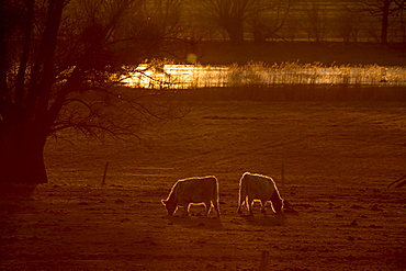 Galloway cattle (Bos primigenius taurus) in backlight on a pasture, Döberitzer Heide nature reserve, Brandenburg, Germany, Europe