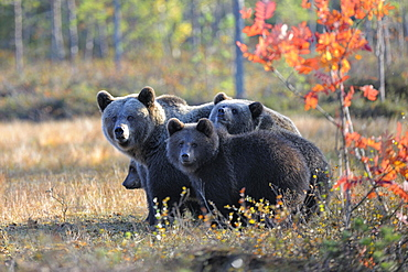 Brown Bears (Ursus arctos), mother bear and cubs in the autumnally coloured taiga or boreal forest in the last light, border area to Russia, Kuhmo, Karelia, Finland, Europe