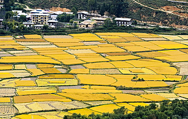 Yellow, ripe rice fields, Paro valley, Paro, Bhutan, Asia