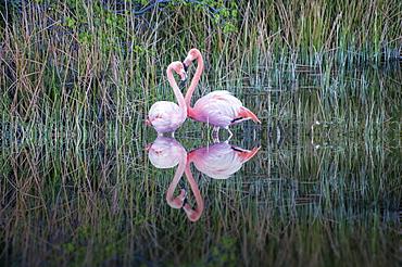 Pair of Greater Flamingos or American Flamingos (Phoenicopterus ruber), Punta Morena, Isabela Island, Galapagos, Ecuador, South America