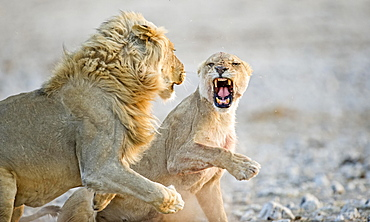 African Lions ( Panthera leo), adult male and female, courtship behavior, Etosha National Park, Namibia, Africa