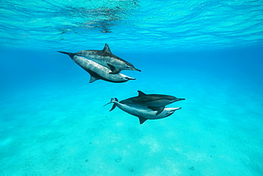Mating of two pairs Spinner Dolphins (Stenella longirostris), Red Sea, Sataya Reef, Marsa Alam, Egypt, Africa