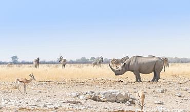 Black Rhinoceros (Diceros bicornis), Etosha National Park, Namibia, Africa