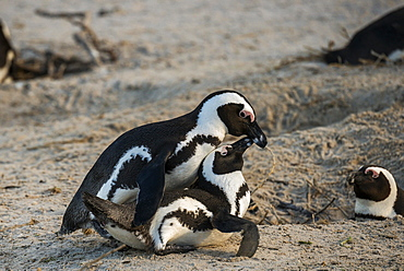 African Penguins (Spheniscus demersus), copulating, Boulders Beach, Simon's Town, Western Cape, South Africa, Africa