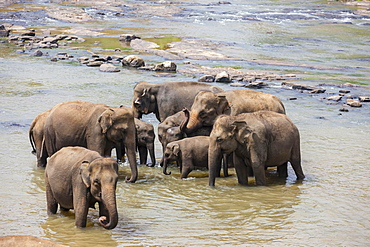 Herd of Asian elephants (Elephas maximus) from the Pinnawela Elephants Orphanage bathe in the Maha Oya river, Pinnawela, Sri Lanka, Asia